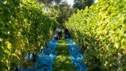 """Wijnbouwers vinden de weg naar Oost-Vlaanderen: """"Concurreren met Bordeaux kunnen we niet, wel met champagne"""""""