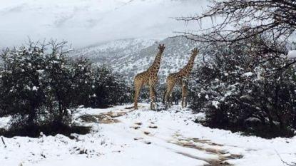 Het is winter in Zuid-Afrika en dat zullen deze giraffen geweten hebben
