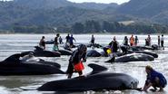 Opnieuw 200 walvissen gestrand in Nieuw-Zeeland