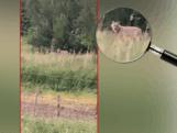 Wolf die 58 schapen doodde op camera vastgelegd