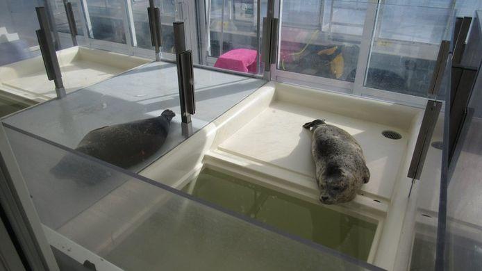 Twee van de drie zeehonden die na de heropening worden opgelapt