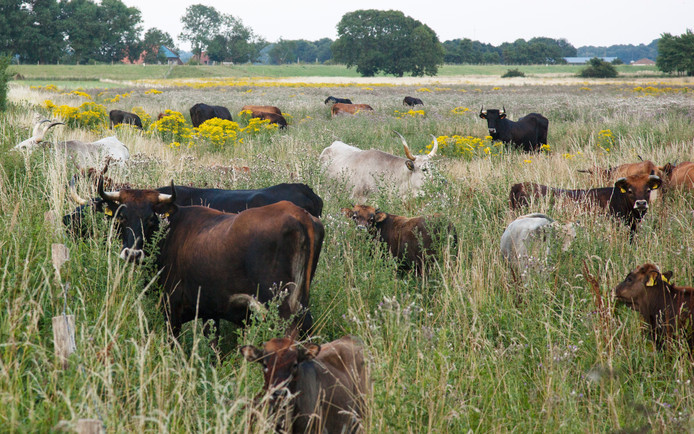 Een mengeling van de dieren die nu in Keent lopen. Hier is goed te zien dat het fokken met Spaanse en Italiaanse stieren nieuwe rassen oplevert die dichterbij het oerrund staan.