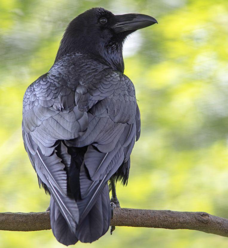 De raaf is een slimme vogel en uitgesproken schuw. Beeld Jelger Herder