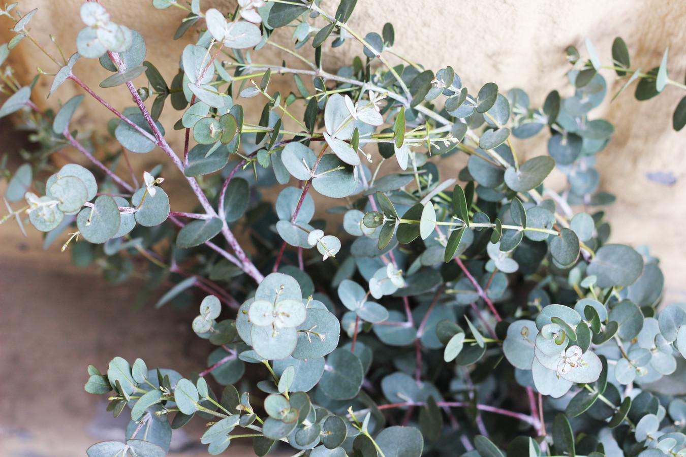 De Eucalyptus gunnii Azura met z'n kenmerkende bladeren.