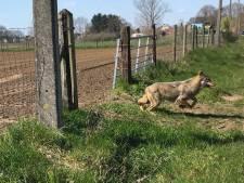 Un loup à nouveau repéré en Campine