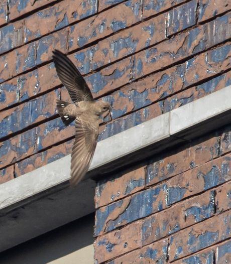 Vogel die nog maar 5 keer gespot is in België, verblijft nu al enkele dagen rond spoed van Maria Middelares
