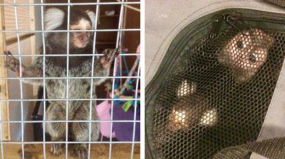 Vrouw hield aapjes als huisgenoten: één had zelfs een luier aan