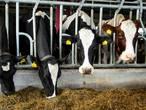 Vrees voor vlucht Brabantse boeren naar Gelderland