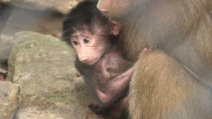 Vertederende beelden: kleine mantelbaviaan geboren in Hongaarse zoo