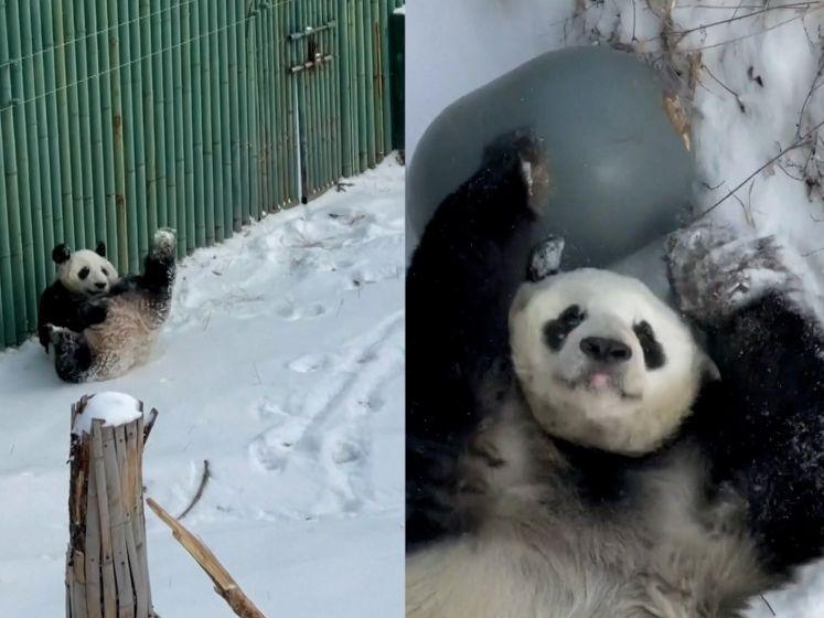 Vertederend: panda's dollen in de sneeuw