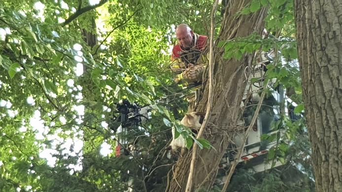 De brandweer wist de kat te overtuigen om de boom aan de Oude Zoomweg in Wageningen te verlaten.
