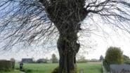 Oude linde in Nukerke krijgt voorlopige bescherming als monument