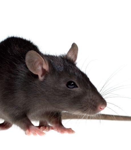Politiek wil dat Meierijstad meer ratten vangt