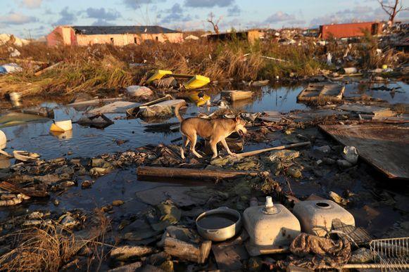 Een hond dwalend in de ravage in Marsh Harbor, Abaco.