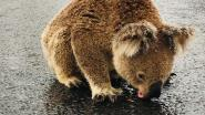 """Koala drinkt regen van asfalt en wil niet wijken voor auto's: """"Hij had gewoon zo'n dorst"""""""