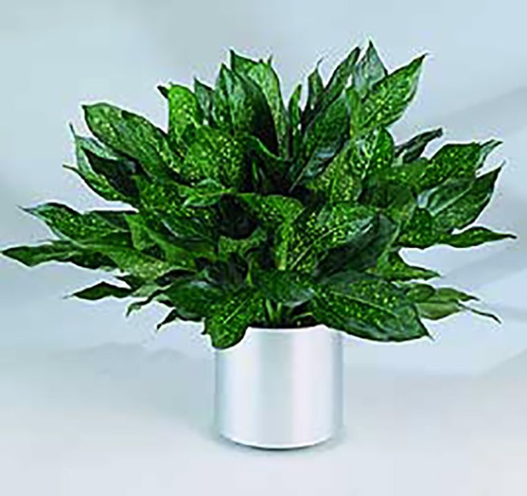 Aglaonema Beeld (Aglaonema modestum)