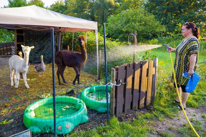 Appie de bruine alpaca, is gek op water. Angré Floren uit Sprang-Capelle geeft hem deze warme zomerweek elke avond een douche.