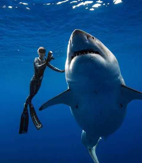 Monsterhaai 'Deep Blue' duikt op, een groep duikers waagt het erop en zwemt mee