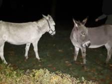 Ezels maken nachtelijke wandeling in Neede, politie zoekt naar eigenaar
