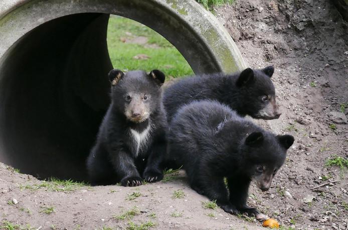 Voor het eerst komen kleine zwarte beertjes naar buiten in Volkel dierenpark ZieZo