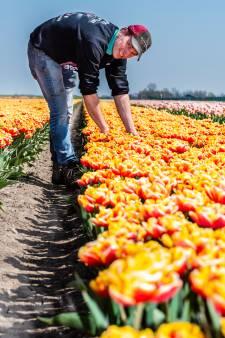 Tulpmania: Bollen geven kleur aan Groene Hart