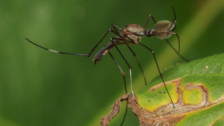 Dengue wordt verspreid door muggen.