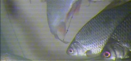 Vislift, in race voor prijs, knipte al veel vis in Vorstenbosch