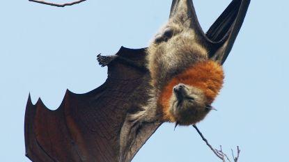 Vleermuis pendelt elke dag 50 km naar haar 'werk'