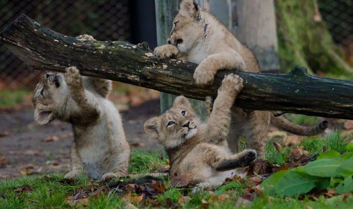 Kijk ze eens dollen: de drie leeuwenwelpjes in Blijdorp voor het eerst buiten.