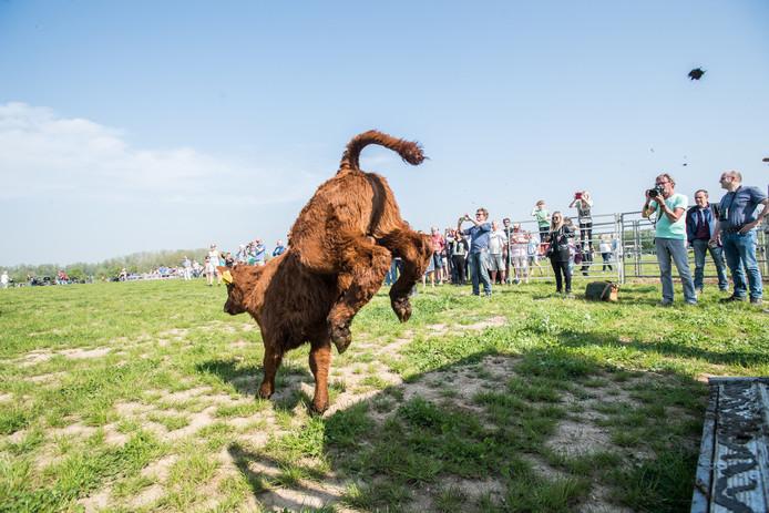 Wilde grazers worden losgelaten in de Gendtse polder.