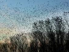 Vogelradar onthult: polderspreeuwen daten massaal in Oostvaardersplassen