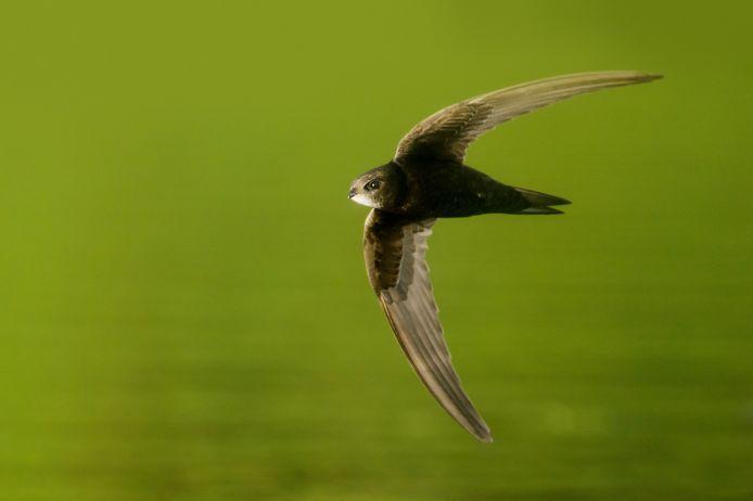 Common swift, gierzwaluw in zweefmodus