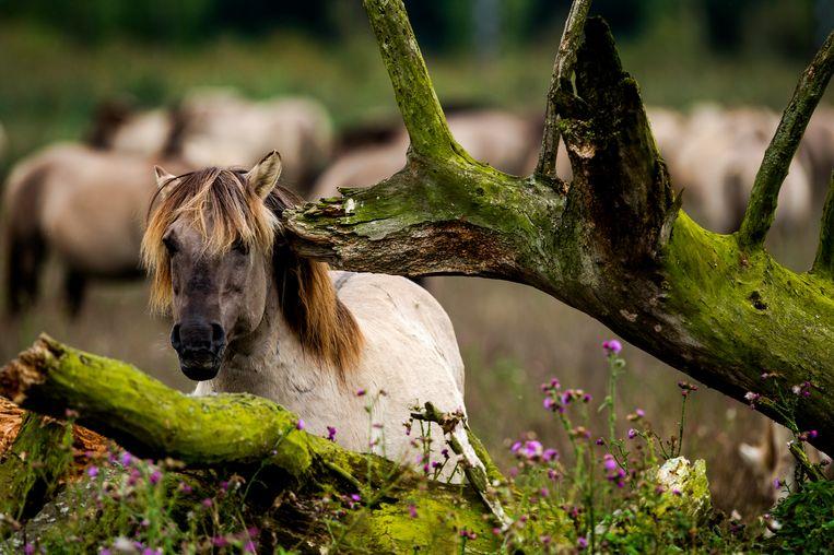 Een konikpaard in de Oostvaardersplassen. Beeld ANP