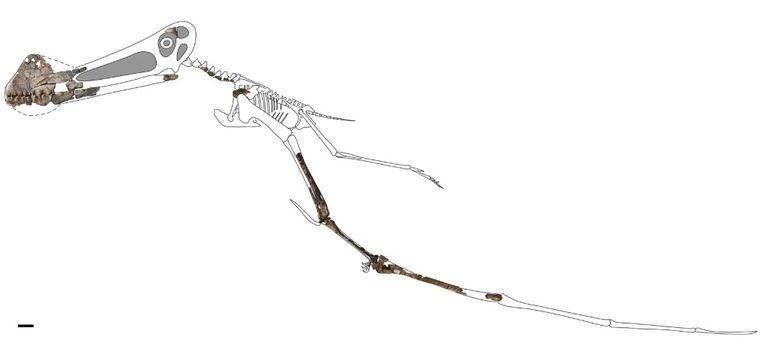 Fossielen van pterosauriërs zijn zeldzaam, omdat hun botten dun en hol waren.