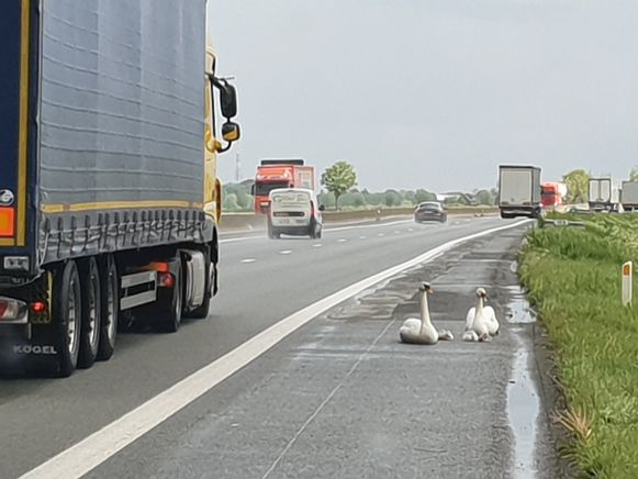 De zwanen probeerden de autosnelweg over te steken en verkeerden in een penibele situatie.