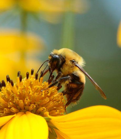 Une nouvelle espèce d'abeille a fait son nid en Wallonie