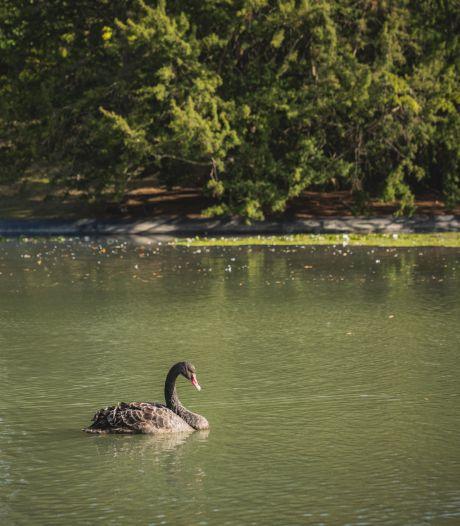 Zwarte zwaan op bezoek in het Citadelpark, zal vermoedelijk niet lang blijven