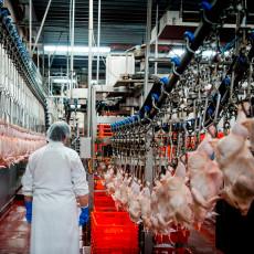 vogelgriep-bij-zeeuws--42000-kippen-geruimd