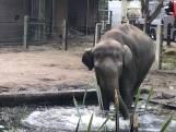 Nieuwe olifantenbul in Blijdorp gearriveerd
