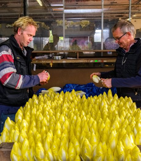 Jos (59) en Ton (62), de allerlaatste witlofkwekers van de provincie, stoppen ermee: 'Het waren mooie tijden'