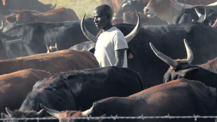 In ruil voor een koe kunnen boeren in Zimbabwe geld lenen bij een speciale bank. Als de lening is afbetaald, krijgt de boer zijn koe terug. Deze vorm van koehandel is voor veel arme boeren een uitkomst