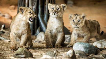 Leeuwenwelpjes kort na geboorte al gestorven in Nederlandse zoo