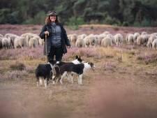 Susanne is schapenherder op Sallandse Heuvelrug: 'Schapen drijven op de hei, het mooiste wat er is'