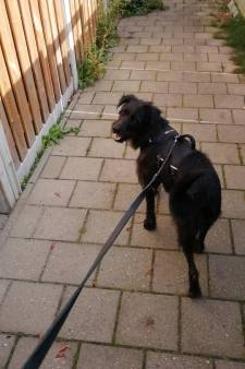 Met speurhond, wildval, man en macht op zoek naar gevluchte hond Malu in Deventer