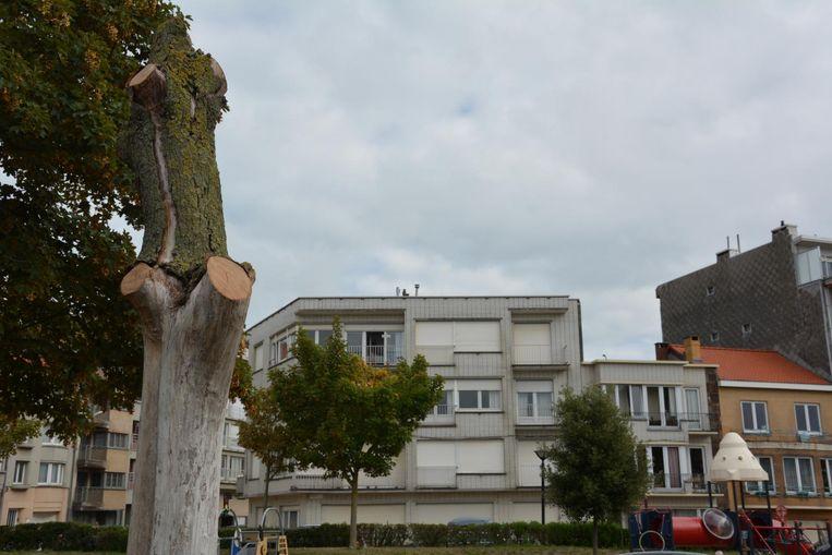 De groendienst heeft deze dodo boom alleen maar wat gesnoeid, maar laat ze verder ongemoeid