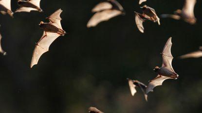 Daarom komen zoveel virussen van vleermuizen