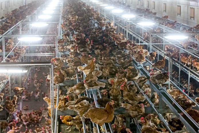 Er worden waarschijnlijk miljoenen kippen geruimd vanwege de fipronil-rel.