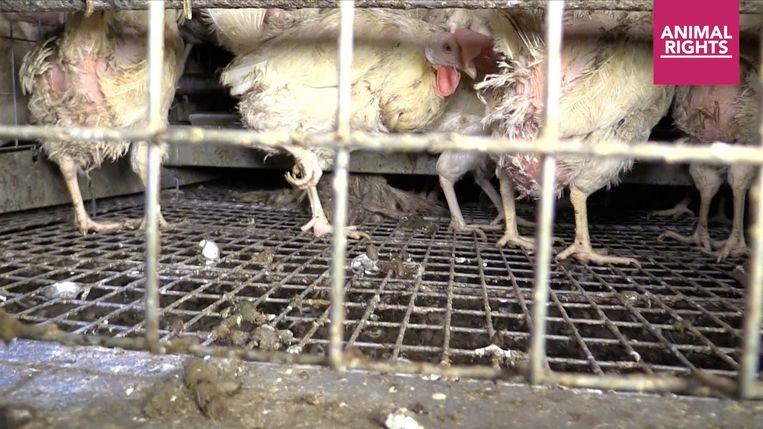 Screenshots campagnefilmpje Animal Rights tegen de mishandeling van legkippen bij het bedrijf Pyfferoen