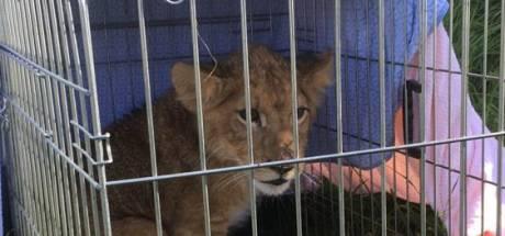 Voorbijganger vindt gedumpt leeuwenwelpje in Tienhoven