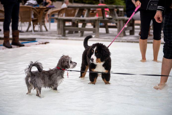 Zondagmiddag was de jaarlijkse hondenplons in zwembad 't Vinkennest een hondenfeest.